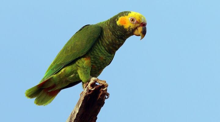 papagaio-galego - Alipiopsitta xanthops