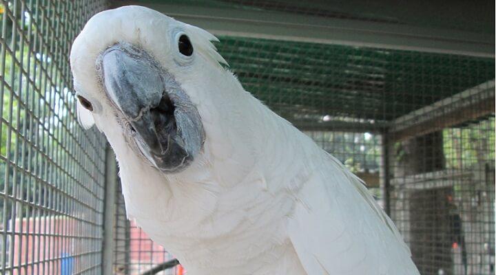 Cacatua-branca