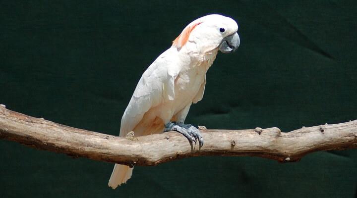 Cacatua-das-molucas