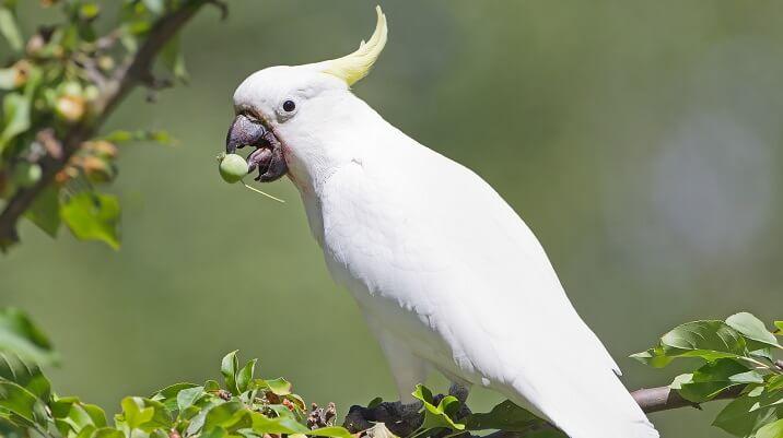 Cacatua-de-crista-amarela
