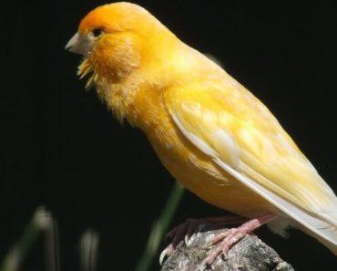 Canario Belga - Guia Completo de Criação e Reprodução com Fotos