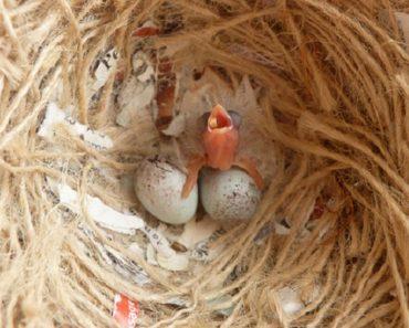 Cuidados Indispensáveis com Filhotes de Canario Belga