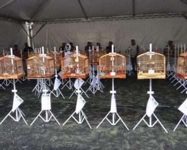 Exposição de Pássaros em Torneios Ornitológicos