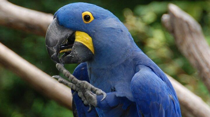 Fotos de arara-azul