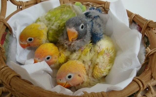 Fotos de Filhotes de agapornis