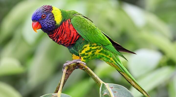 Lóris-arco-íris