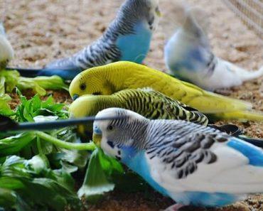 Melhor Alimentação para Periquito Australiano