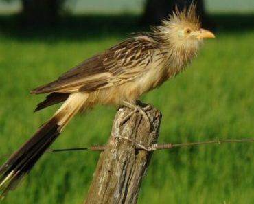 Pássaro Anu Branco