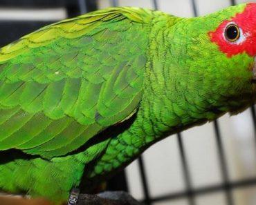 Papagaio Charão