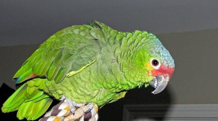 papagaio-Diadema