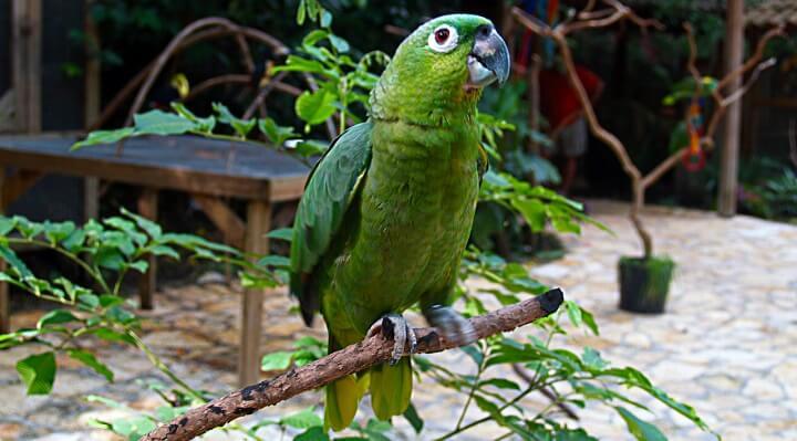 papagaio-moleiro