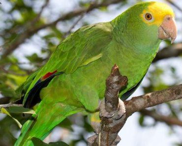 Papagaio de Cabeça Amarela
