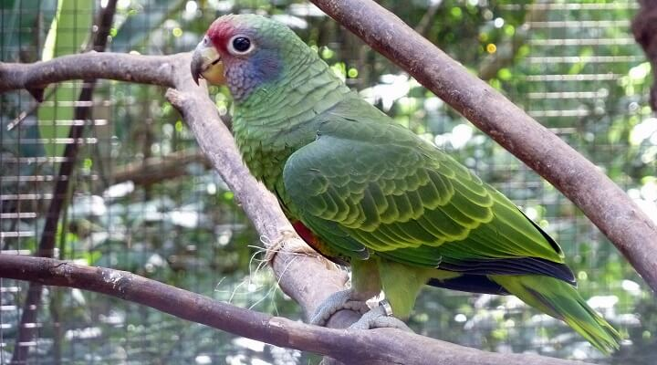Resultado de imagem para papagaio de cara roxa