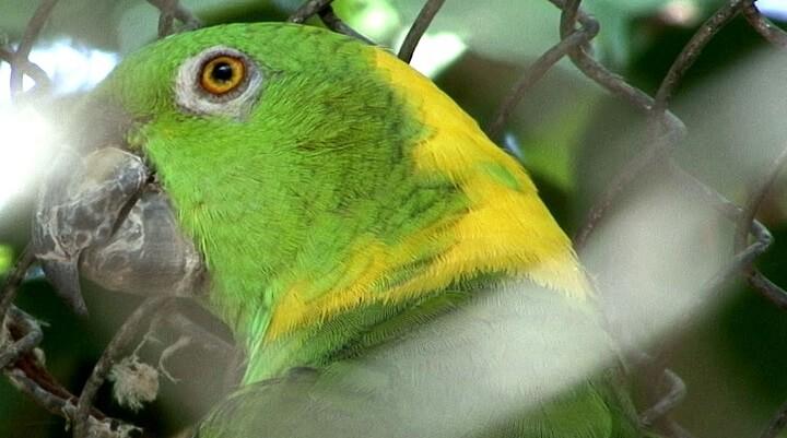 papagaio-de-nuca-amarela