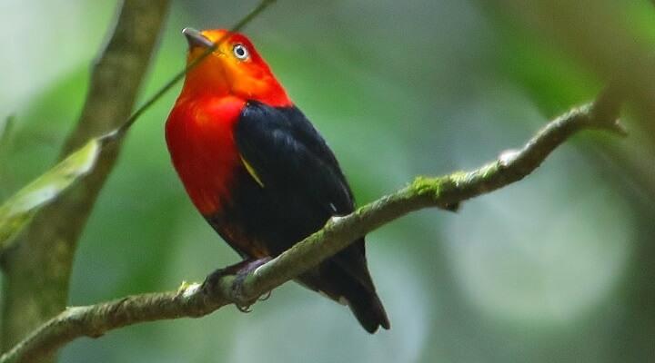 Uirapuru-vermelho