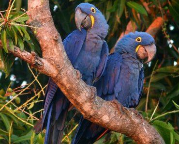 arara azul em extinção