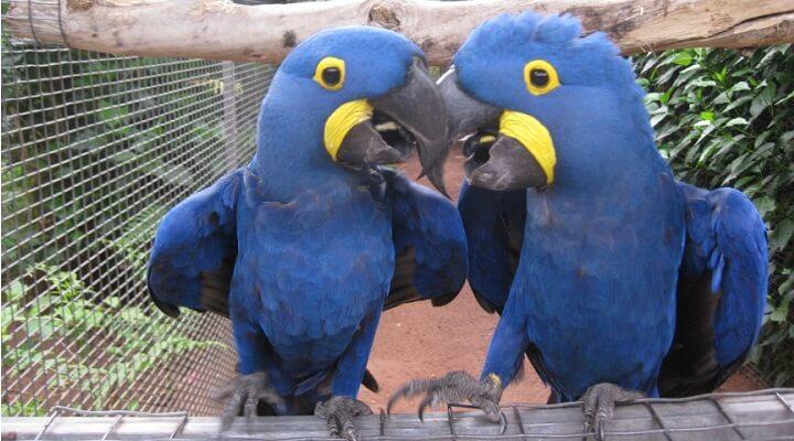 araras azul