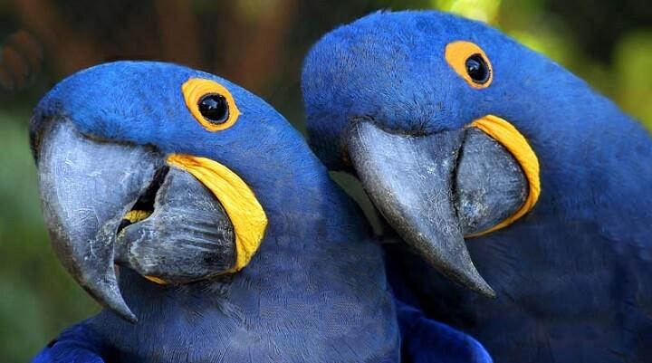 casal arara-Azul