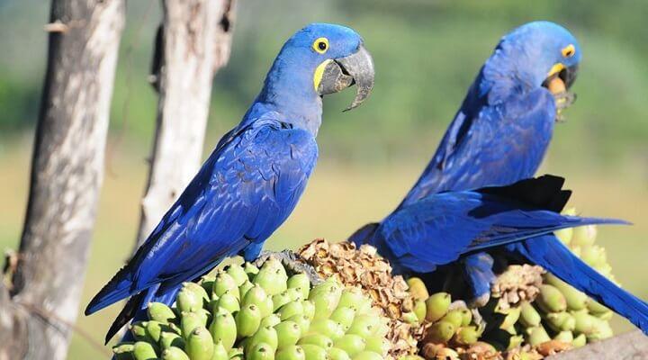 fotos da arara-Azul no Brasil