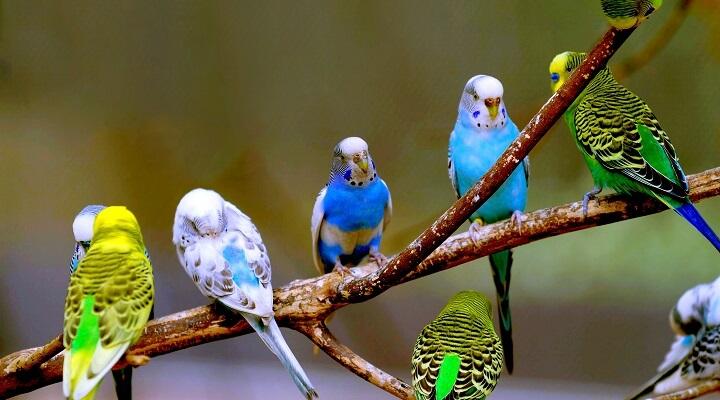 Fotos de periquitos-australianos