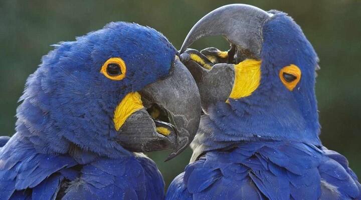 imagens de arara-Azul
