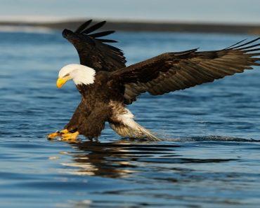 Saiba Tudo Sobre a Águia-americana