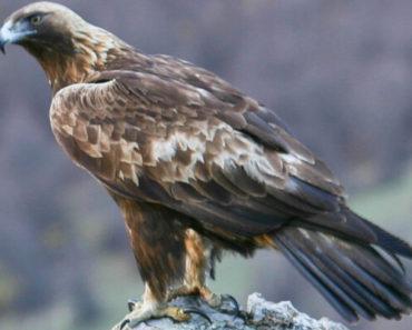 Saiba Tudo Sobre a águia-real