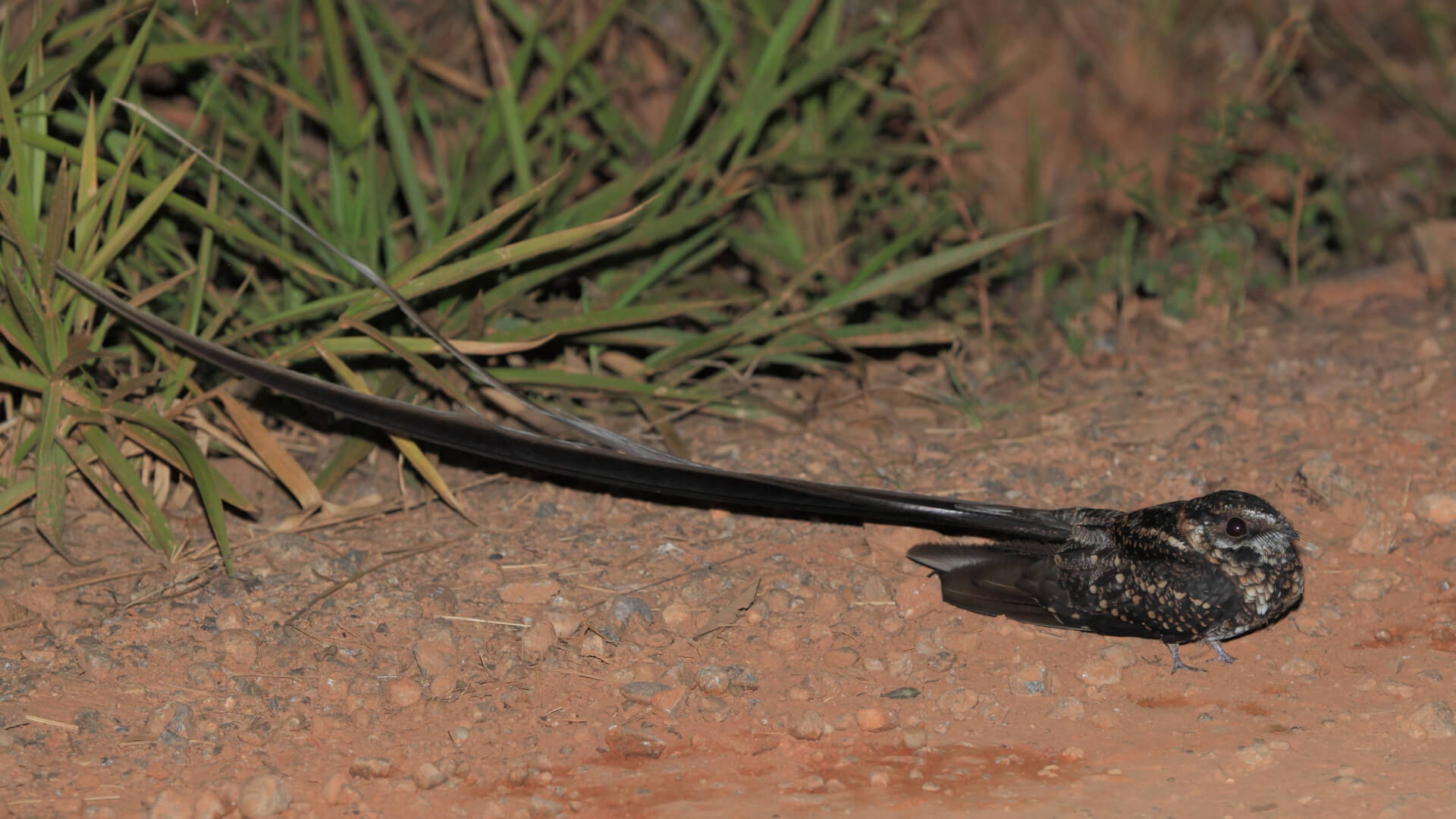 Saiba Tudo Sobre o Bacurau-tesoura-gigante