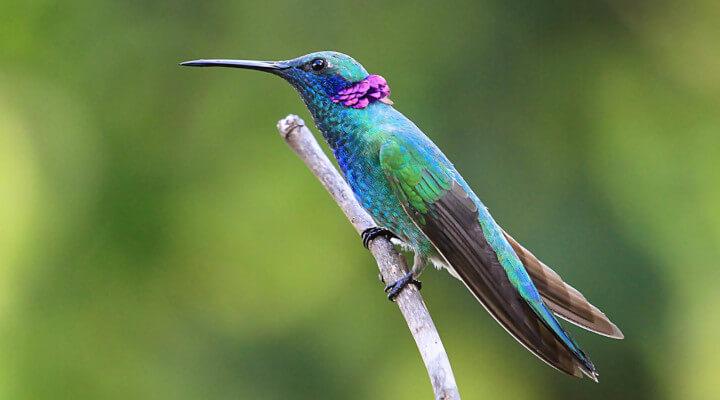 Saiba Tudo Sobre o beija-flor-de-orelha-violeta