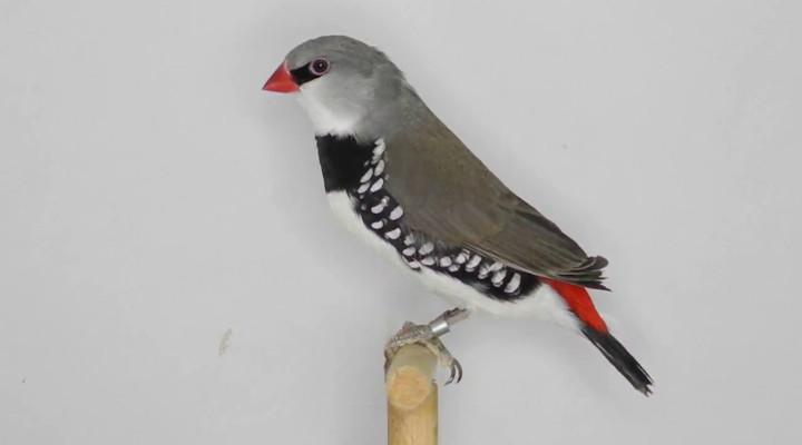 Saiba Tudo Sobre o Diamante-sparrow