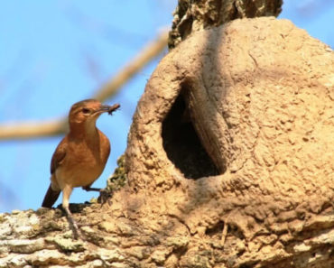 Pássaros Mais Comuns do Brasil