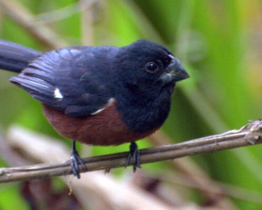 Principais Pássaros Cantores do Brasil