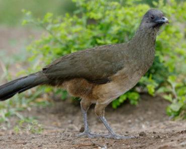 Saiba Tudo Sobre o Aracuã-de-asas-azuis