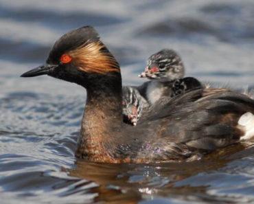 Saiba Tudo Sobre o Mergulhão-de-pescoço-preto